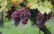Eat grapes to help lower obesity risk