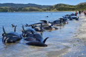 100 more stranded whales wash ashore on NZ beach
